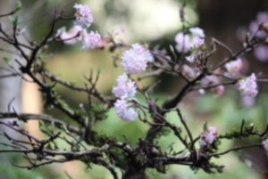 sign of spring at Portland Japanese Garden
